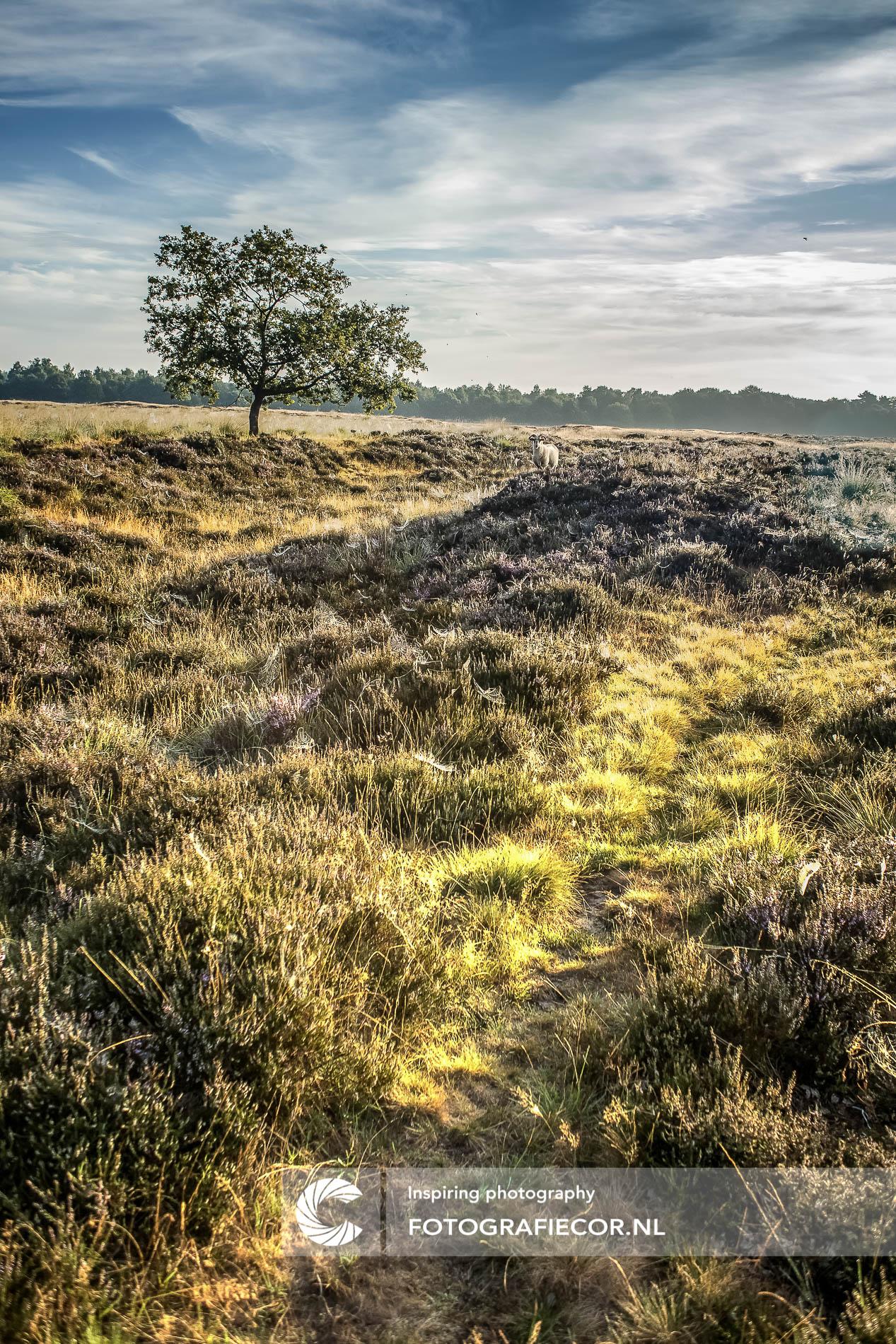 Schaap in desolaat heideveld | Nederland | moeras | natuurmonumenten | landschapsfotograaf