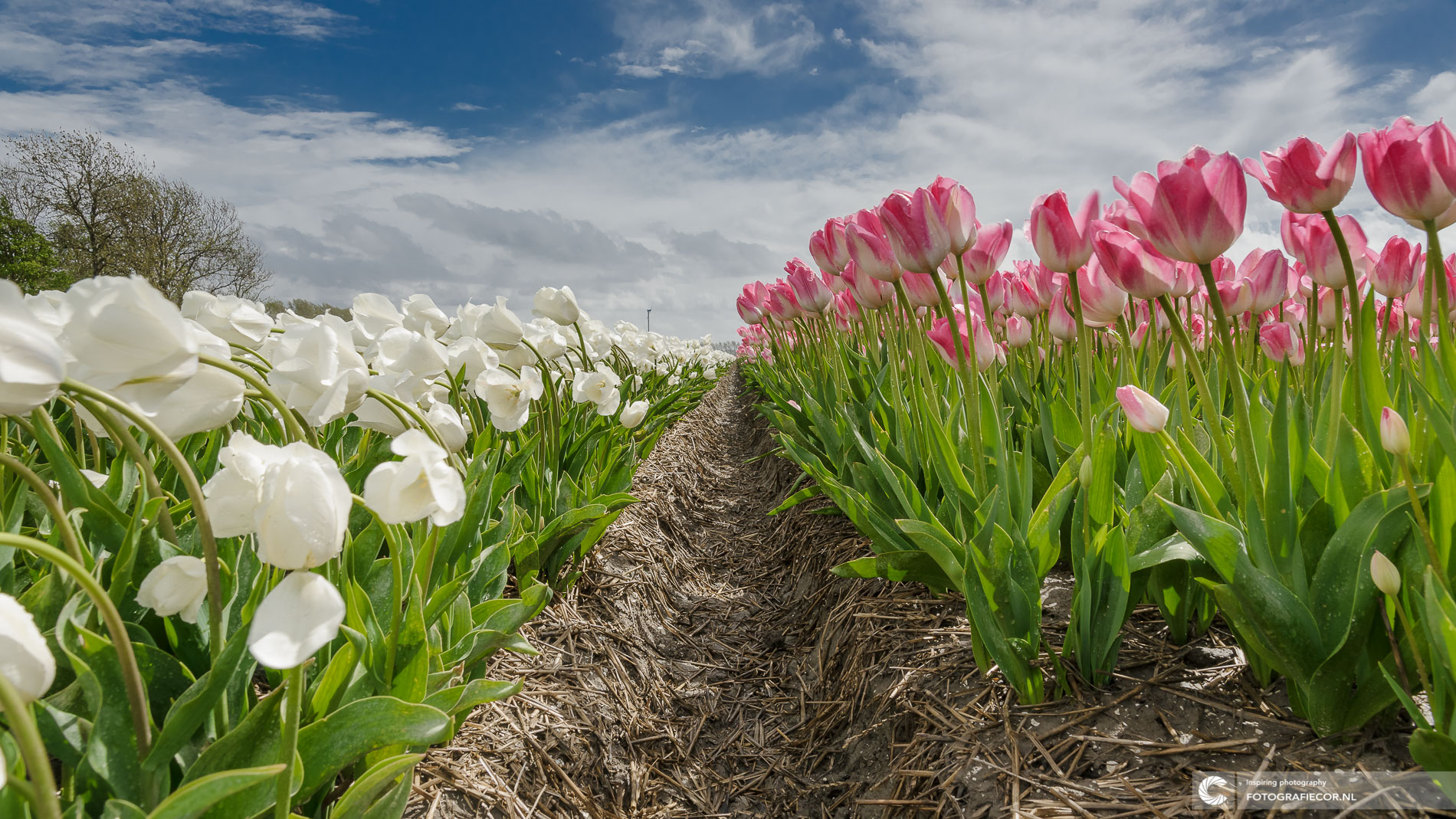 tulpen agrarisch polder landschap | Landschapsfotograaf