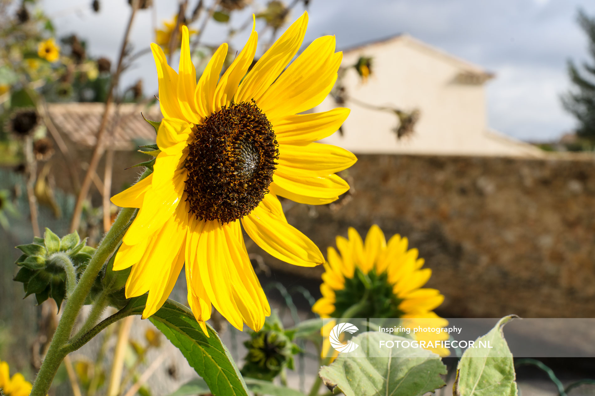 Close-up zonnebloem Provence | Florafotografie