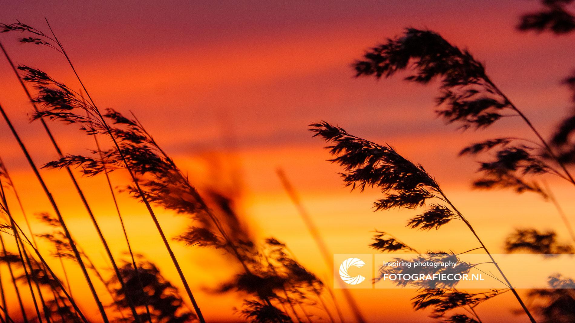 Rietpluimen dansen tegen vuurode zonsondergang     Florafotografie
