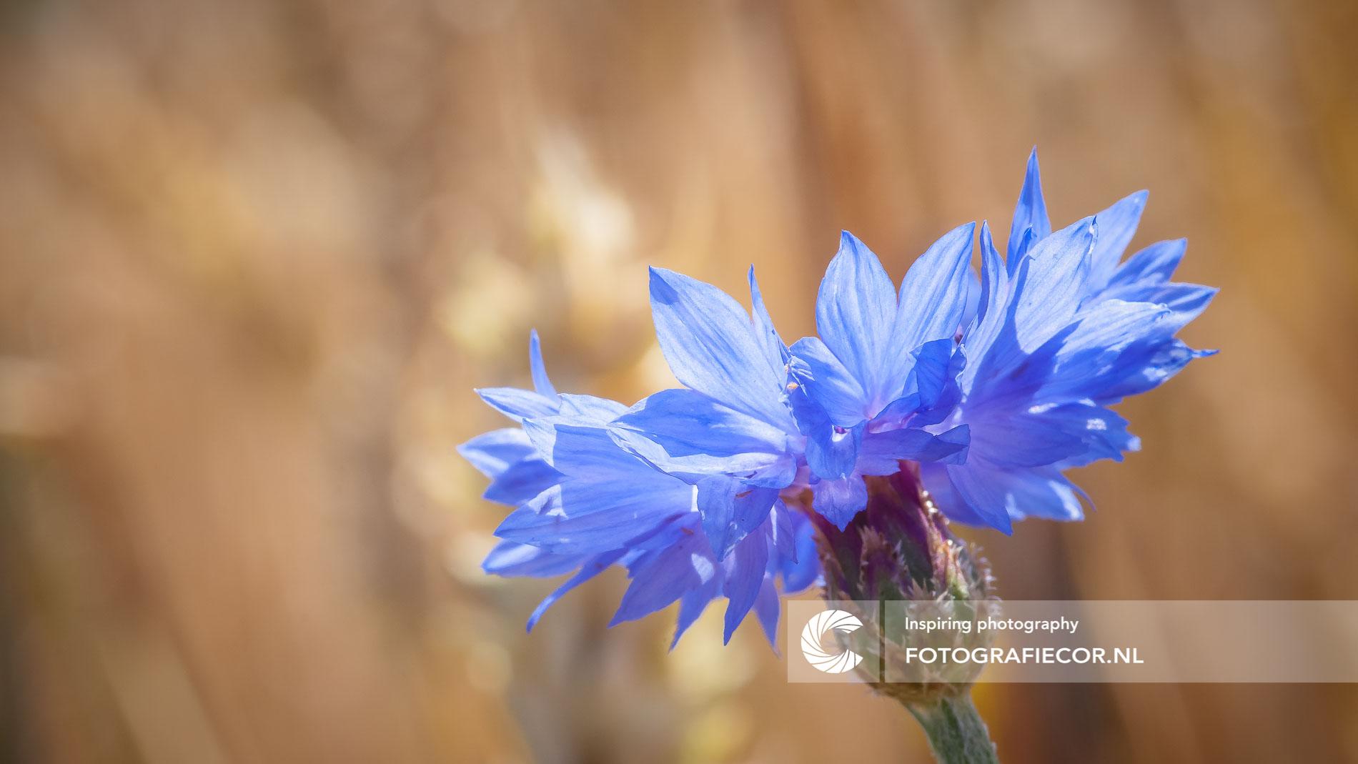 Macro opname blauwe korenbloem   Florafotografie