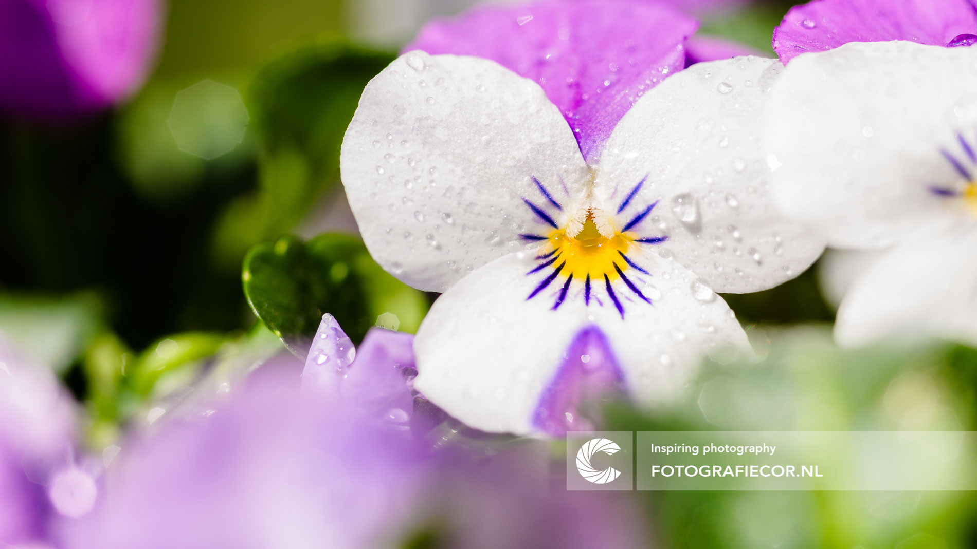 Macro fotografie wit paarse viooltjes   Florafotografie