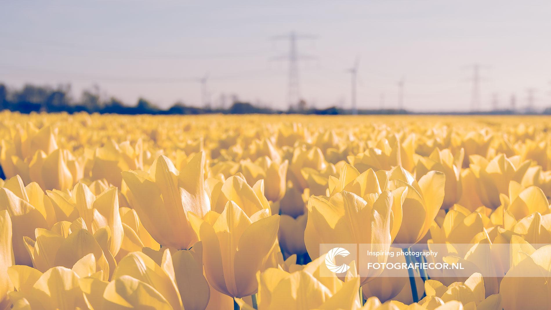 Gele tulpen in Nederlandsche polder   Florafotografie