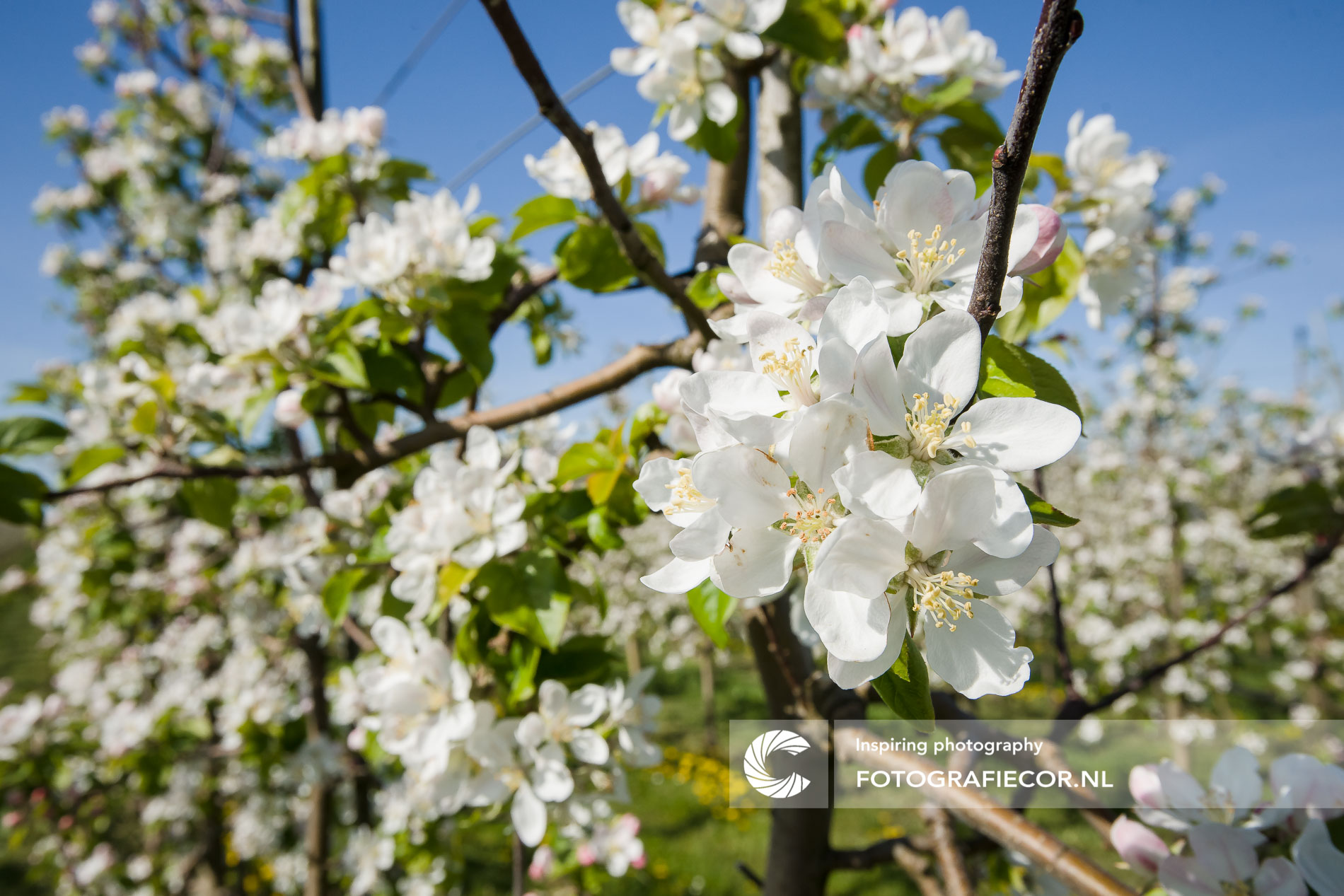 Witte appelbloesem agrarisch landschap   Florafotografie