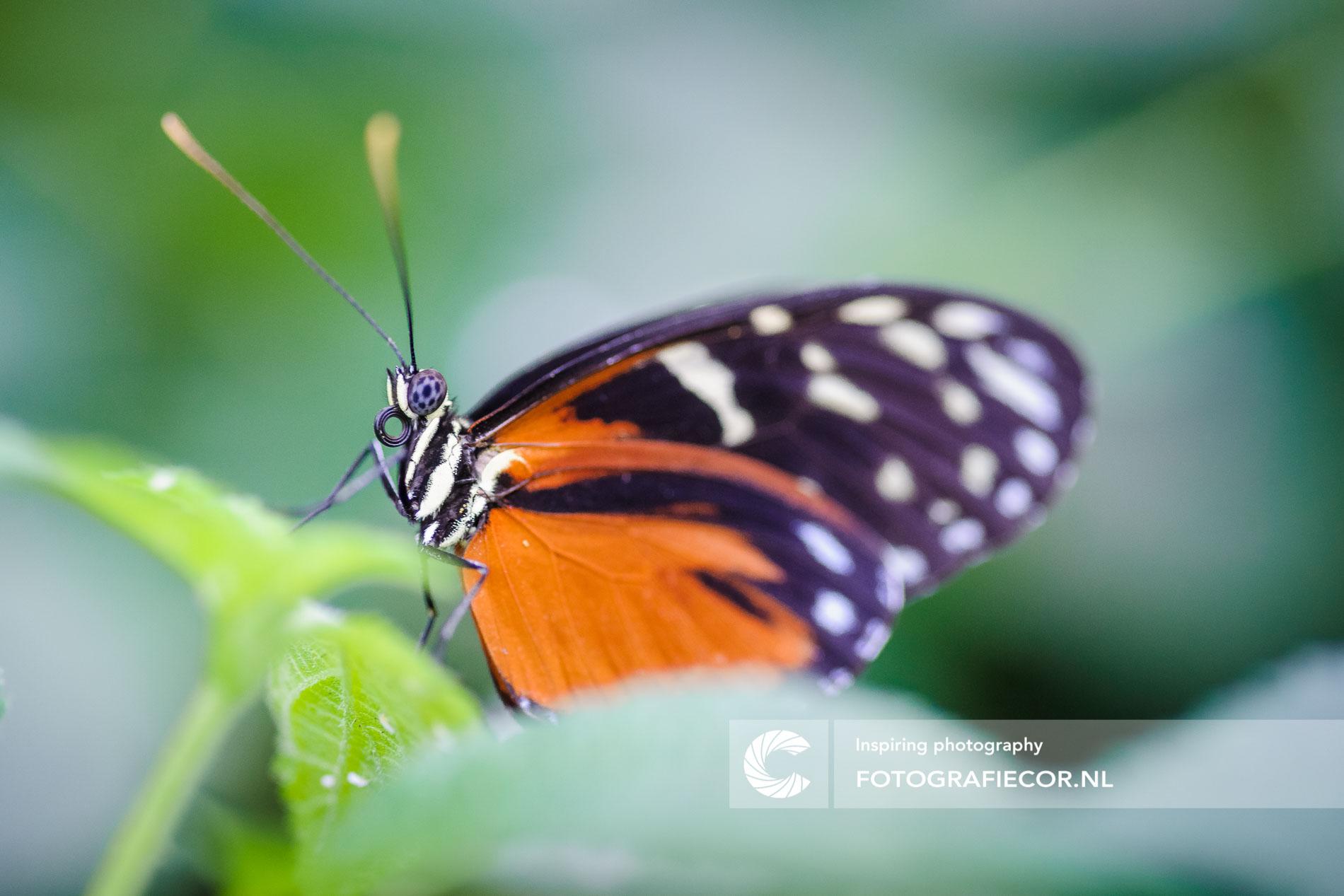 Macro opname van tropische vlinder