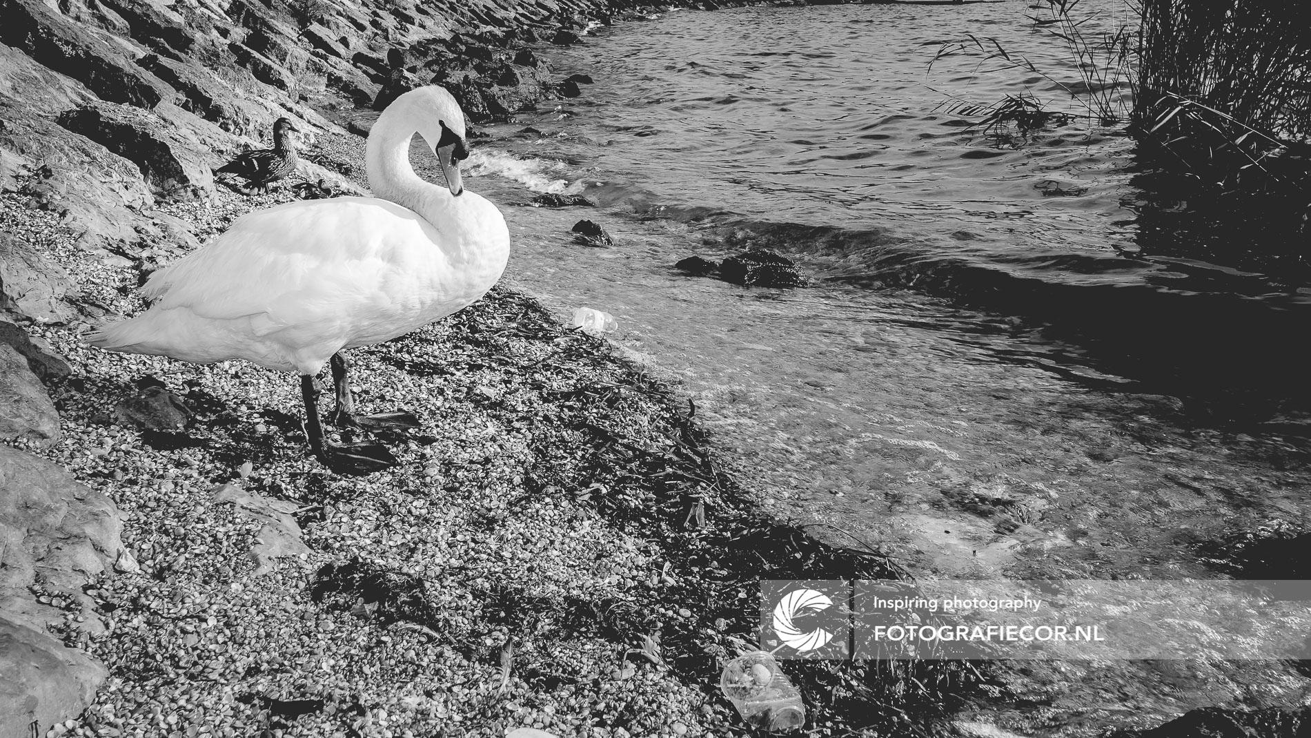 Witte knobbelzwaan Gardameer, Italië