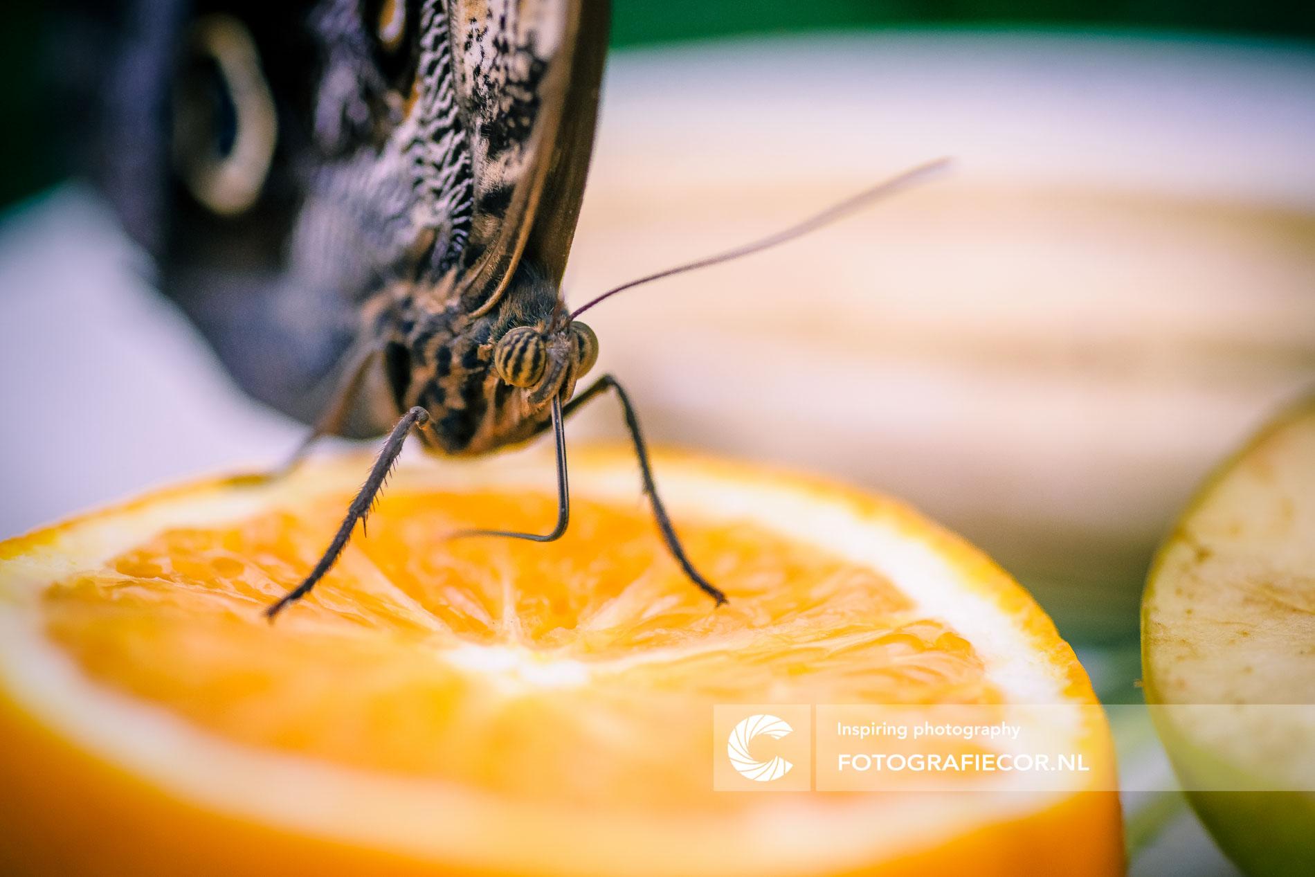 Camera statief | Macro opname tropische vlinder op sinaasappel
