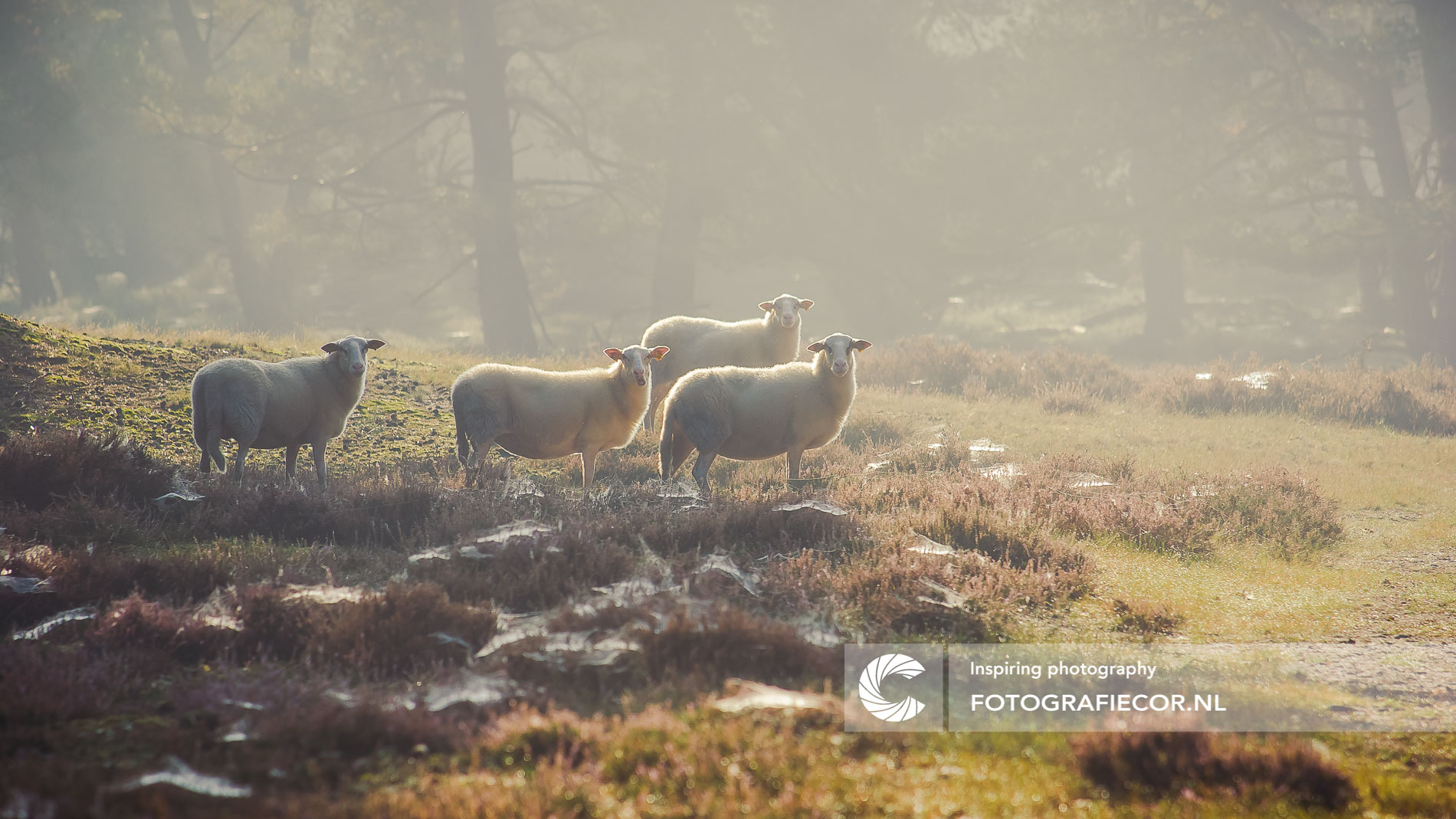 Verbaasde schapen in ochtendzon