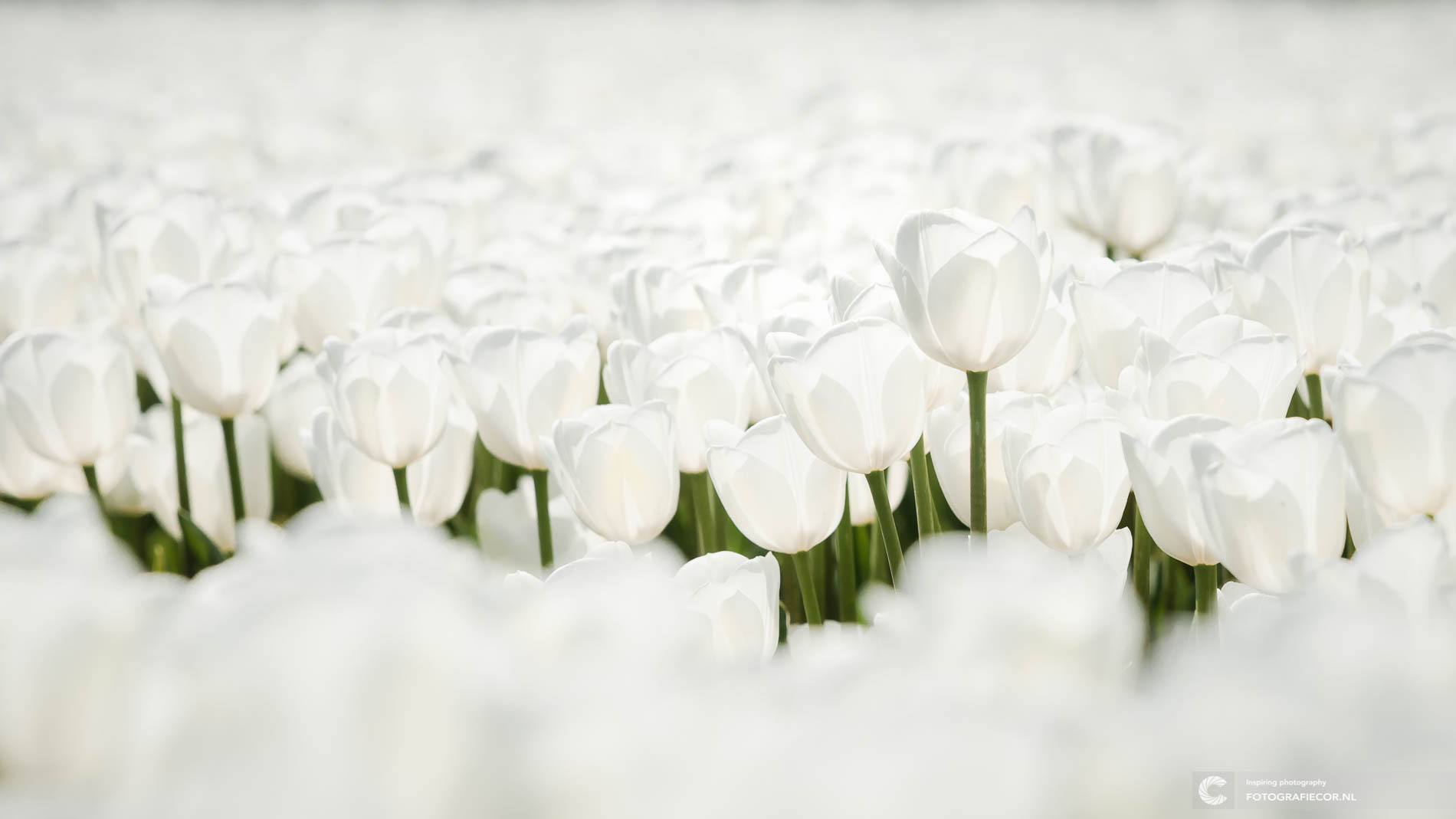 Prachtige witte tulpen fotograferen in de Noordoostpolder met landschap fotograaf uit Kampen tijdens tulpenfestival Emmeloord