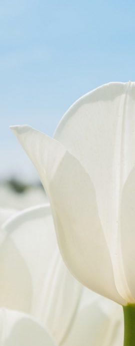 witte Tulp steekt boven bollenveld uit