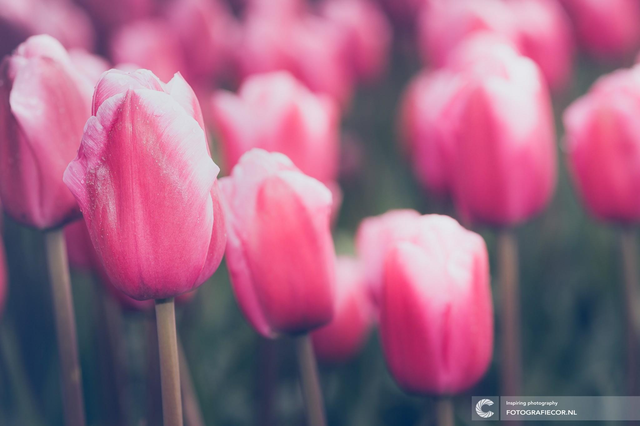 Tulpen fotograferen tijdens tulpenroute tulpenfestival bollenroute in de Noordoostpolder | landschap fotograaf Kampen