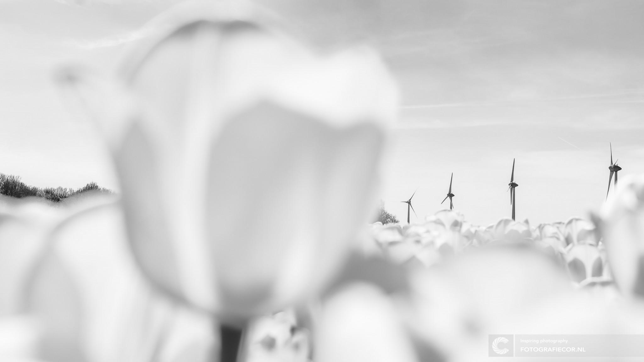 Zwart-wit | windmolens | Nop | tulpen | Tulpenfestival Noordoostpolder | Landschap orgineel fotograferen door fotograaf uit Kampen