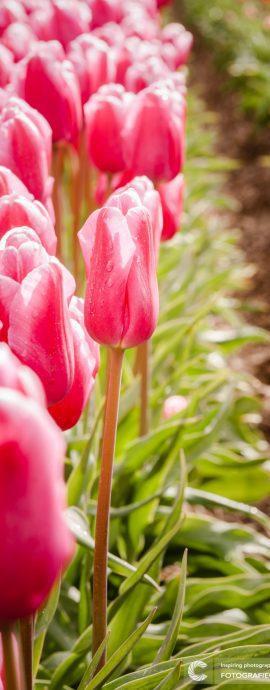 Bollenveld | tulp | landschap | natuur | agrarisch | landbouw | Holland