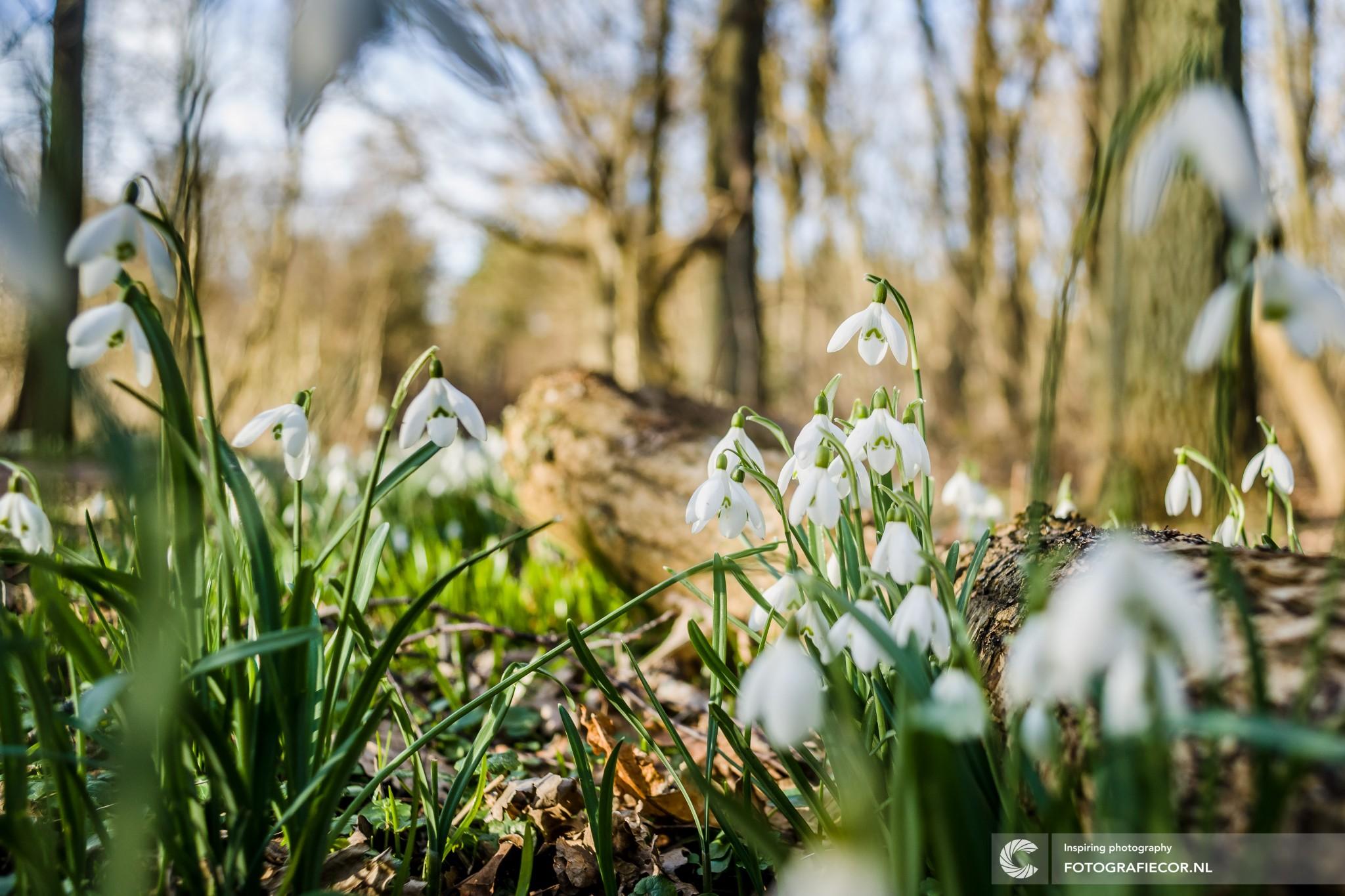 Sweet spot | Camera | Sneeuwvlokje | macro | bloem | plant | flora | eiland | wadden | bos
