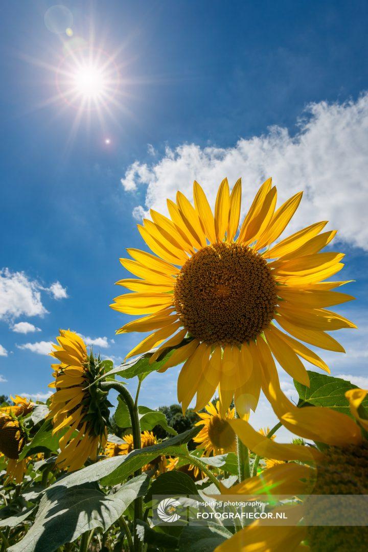 Lonely Planet Gids Reis fotografie van bloeiende zonnebloem velden in de Loire, Tuin van Frankrijk | fotograaf Kampen