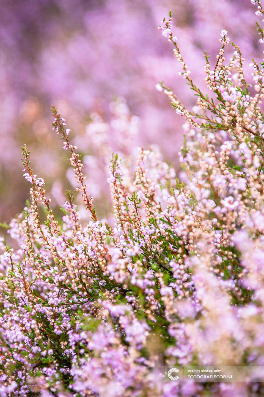 herfstfoto's maken | Heide | paars | herfstkleuren | seizoen | natuur | Macro