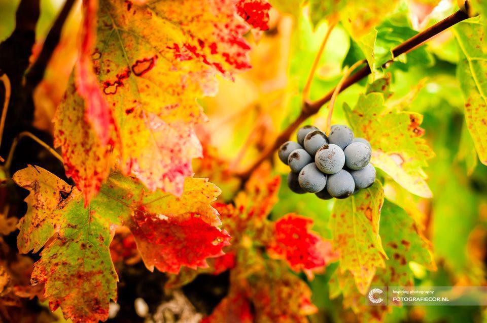 Portfolio | herfstfoto's maken | Druiven | Wijnbladeren | herfstkleuren | seizoen | natuur