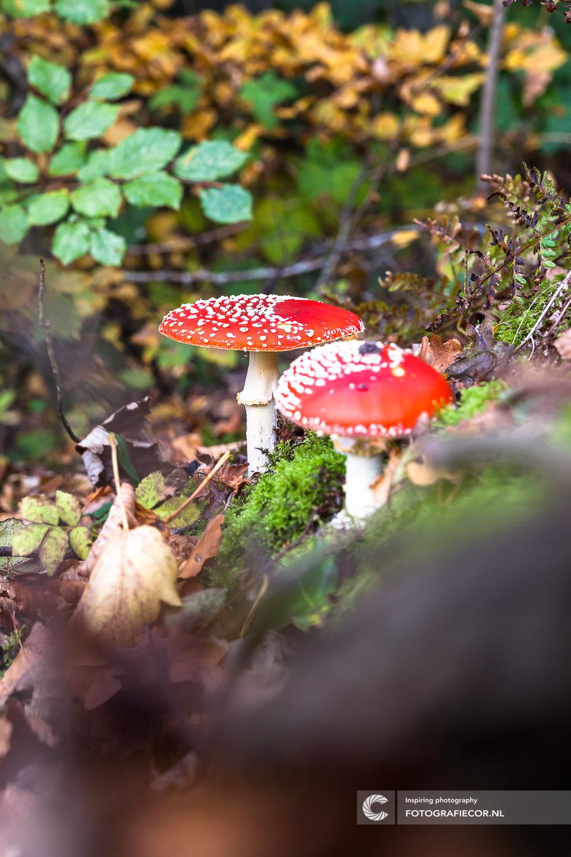 Vliegenzwam | Amanita muscaria | Paddenstoel | Zwam | boleet | Herfst | natuur | Bos | Landschap | Boomstronk