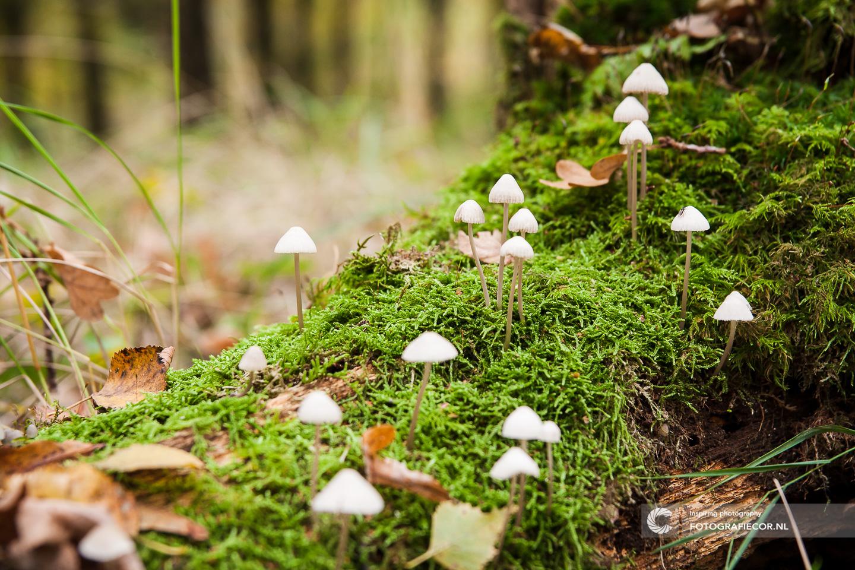 Paddenstoel | Zwam | boleet | Herfst | natuur | Bos | Macro | Graskleefsteelmycena | Kleefsteelmycena | Mycena epipterygia