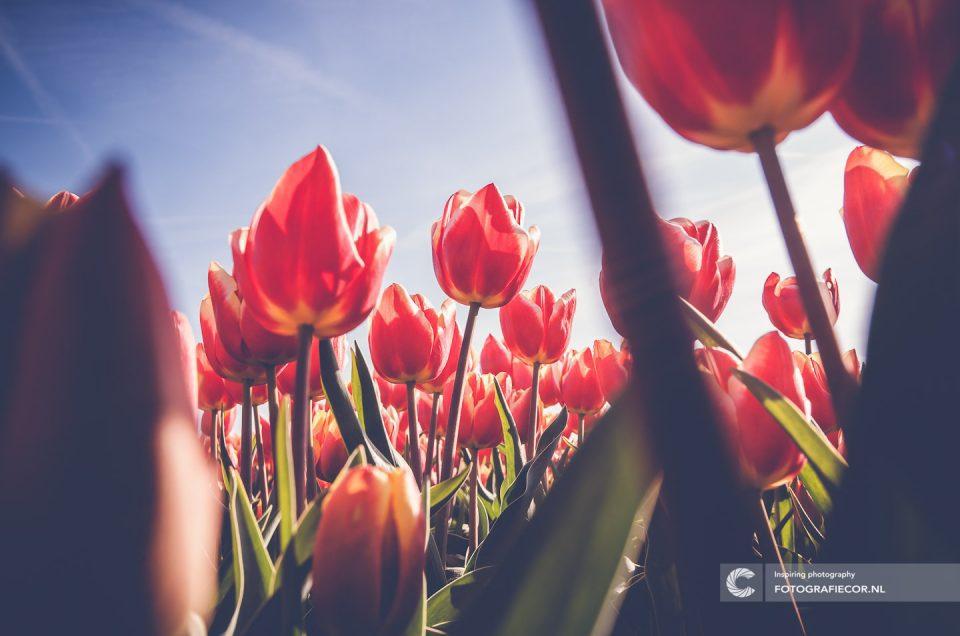 bollenvelden in bloei | bloembollen | bloemen | bollenstreek | Noordoostpolder | tulpen | tulpenbollen | tulpenfestival | tulpenroute | tulpenvelden | voorjaarsbloemen