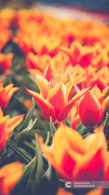 Bijzondere | bloembollen | bloemen | bollenstreek | Noordoostpolder | tulpen | tulpenbollen | tulpenfestival | tulpenroute | tulpenvelden | voorjaarsbloemen