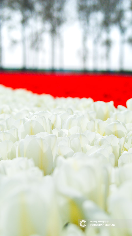Detail opname | bloembollen | bloemen | bollenstreek | Noordoostpolder | tulpen | tulpenbollen | tulpenfestival | tulpenroute | tulpenvelden | voorjaarsbloemen