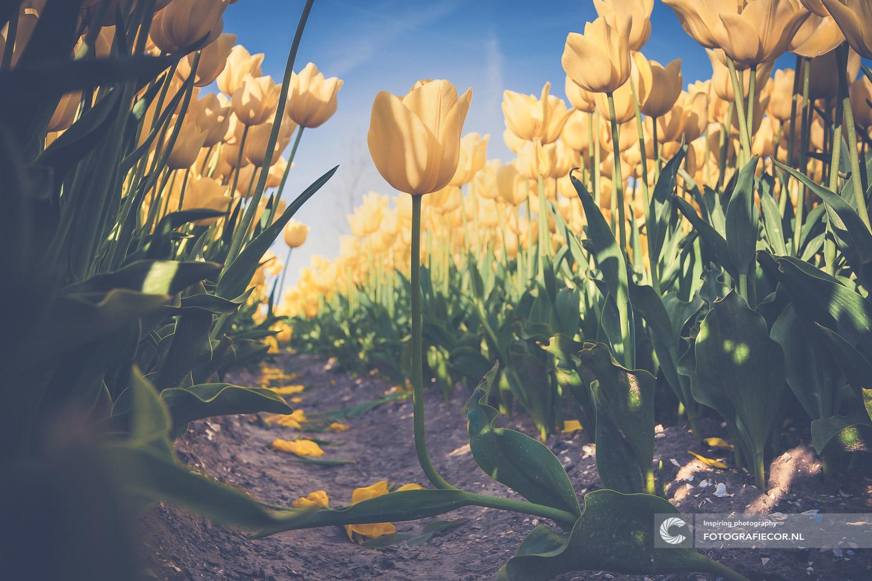 Geel | bloembollen | bloemen | bollenstreek | Noordoostpolder | tulpen | tulpenbollen | tulpenfestival | tulpenroute | tulpenvelden | voorjaarsbloemen