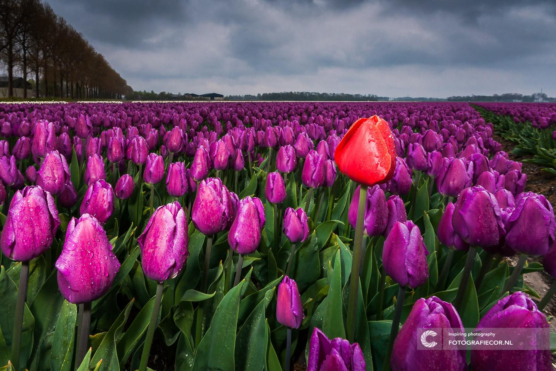 Expositie | Paars | Roos | bloembollen | bloemen | bollenstreek | Noordoostpolder | tulpen | tulpenbollen | tulpenfestival | tulpenroute | tulpenvelden | voorjaarsbloemen