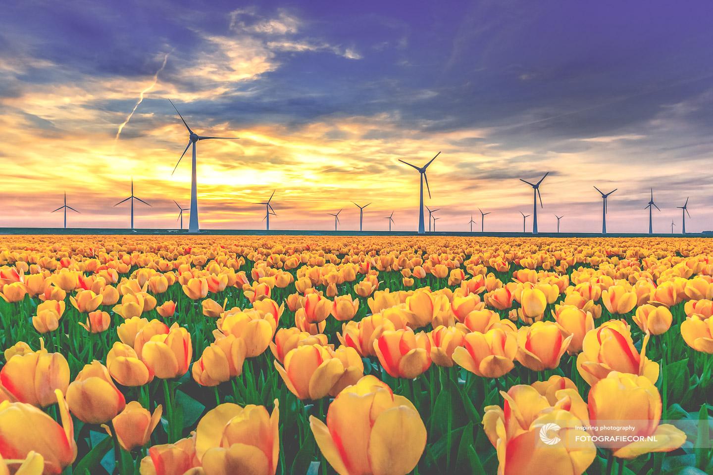 Zonsondergang | Polder | Molens | bloembollen | bloemen | bollenstreek | Noordoostpolder | tulpen | tulpenbollen | tulpenfestival | tulpenroute | tulpenvelden | voorjaarsbloemen