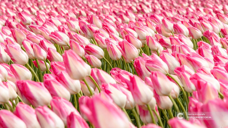 Kleur | Wind | bloembollen | bloemen | bollenstreek | Noordoostpolder | tulpen | tulpenbollen | tulpenfestival | tulpenroute | tulpenvelden | voorjaarsbloemen