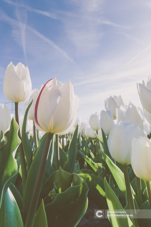 bloembollen | bloemen | bollenstreek | Noordoostpolder | tulpen | tulpenbollen | tulpenfestival | tulpenroute | tulpenvelden | voorjaarsbloemen