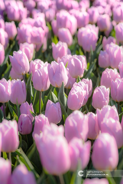 Paars | bloembollen | bloemen | bollenstreek | Noordoostpolder | tulpen | tulpenbollen | tulpenfestival | tulpenroute | tulpenvelden | voorjaarsbloemen