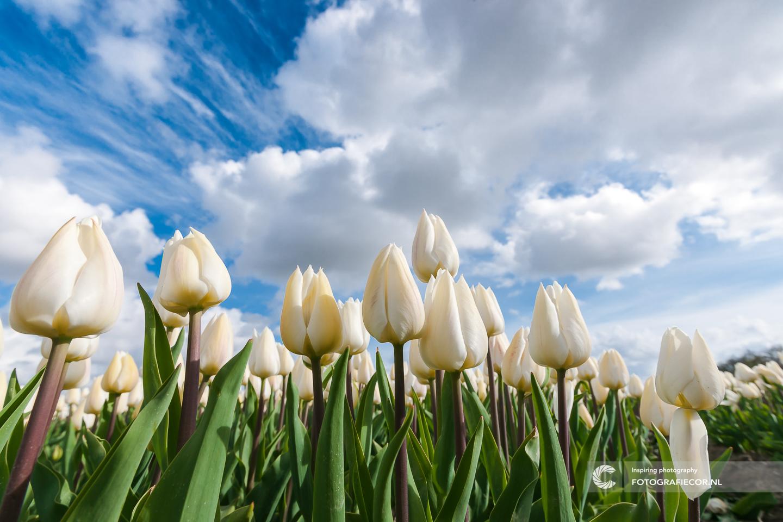 Hyperfocale afstand | Tulpen | polder | Holland | landschap