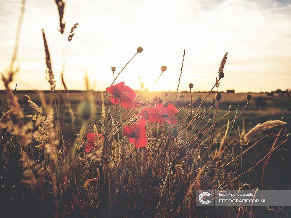 Tegenlicht   veldbloemen   avondlicht   landschap   polder   Kampen   zomeravond