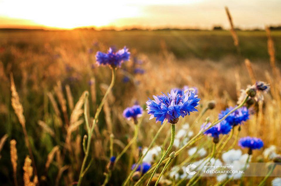 Portfolio | Bloem | Veldbloem | zon | avond | licht | zonnestralen | natuur | landschap | Kampen | IJsseldelta