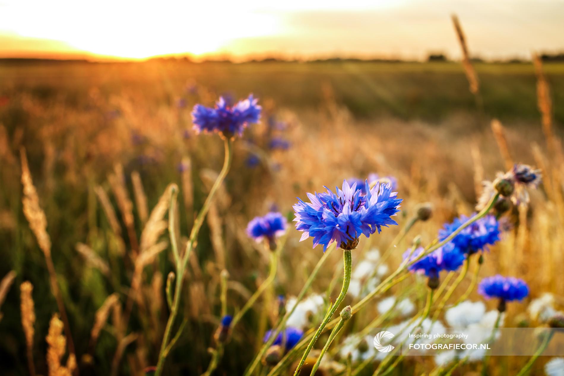Bloem | Veldbloem | zon | avond | licht | zonnestralen | natuur | landschap | Kampen | IJsseldelta | foto van de maand | natuurmonumenten