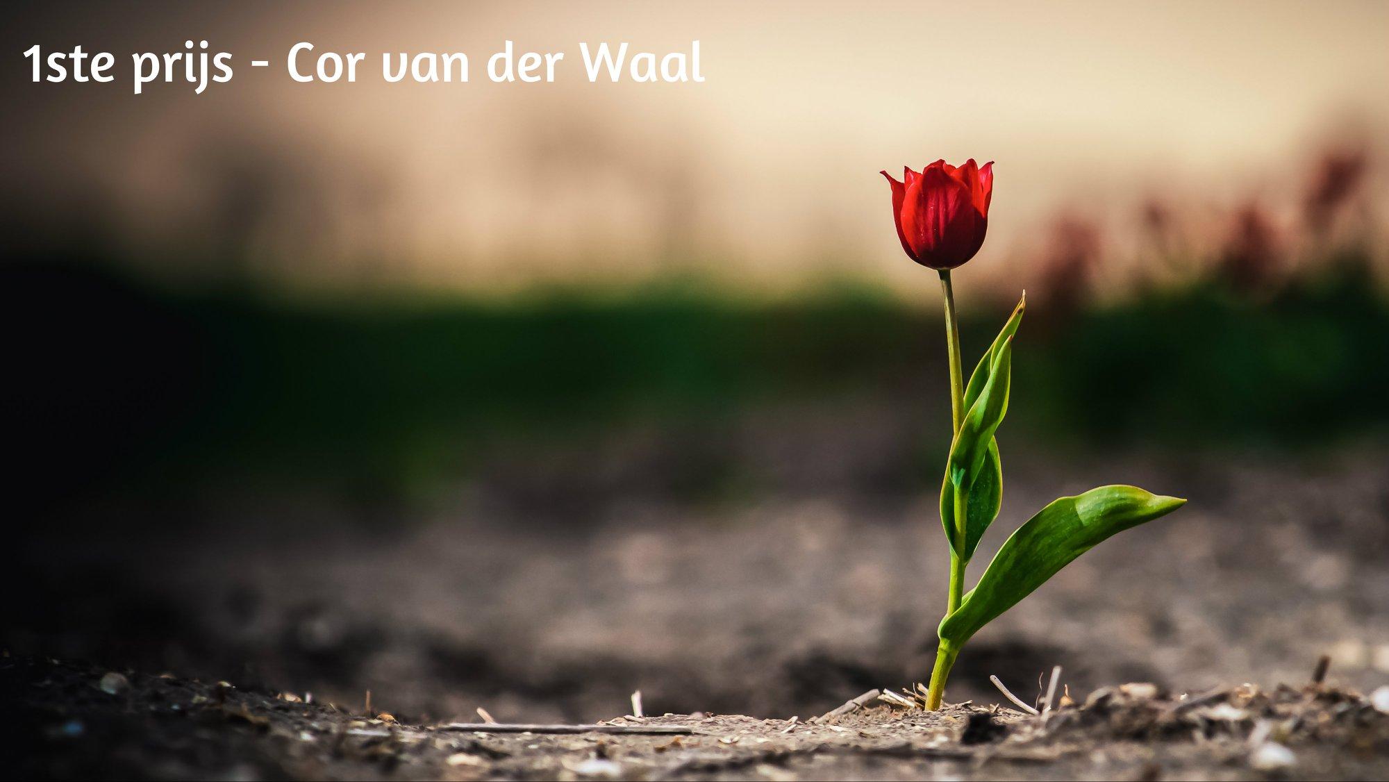 Winnaar Cor van der Waal | tulpen foto | wedstrijd